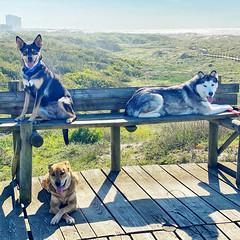 Enjoying the view (MSVG) Tags: apulia portugal esposende porto dogs beach dog husky rottweiler boxer terrier walk hike pic teh day instagram follow me north fao ofir fun travel