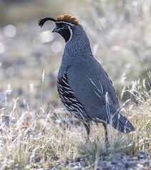 02192020000037737 (Verde River) Tags: rabbit gambelsquail bird birds cactuswren