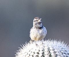 02192020000037675 (Verde River) Tags: rabbit gambelsquail bird birds cactuswren