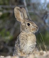 02192020000037729 (Verde River) Tags: rabbit gambelsquail bird birds cactuswren