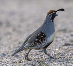 02192020000037717 (Verde River) Tags: rabbit gambelsquail bird birds cactuswren