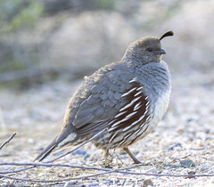 02192020000037712 (Verde River) Tags: rabbit gambelsquail bird birds cactuswren