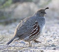 02192020000037711 (Verde River) Tags: rabbit gambelsquail bird birds cactuswren