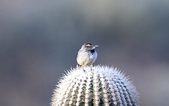 02192020000037667 (Verde River) Tags: rabbit gambelsquail bird birds cactuswren