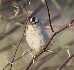 02192020000037645 (Verde River) Tags: rabbit gambelsquail bird birds cactuswren