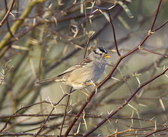 02192020000037644 (Verde River) Tags: rabbit gambelsquail bird birds cactuswren
