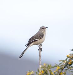 02192020000037628 (Verde River) Tags: rabbit gambelsquail bird birds cactuswren