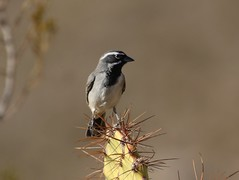 Black-throated Sparrow in the Prickly Pear