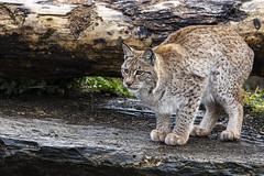 Lynx about to pounce (Julie McGovern) Tags: wildireland donegal burnfoot ireland catchlight cameraclub lynx rescued wildlife