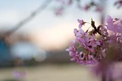 Kawazu Cherry (tez-guitar) Tags: cherryblossom cherry kawazucherry bloom blossom flower sakura leica leicacl summicronr50mmf2 sagamihara