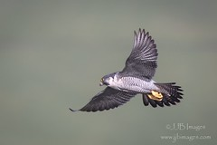 Peregrine flypast 2 (JJB Images) Tags: amazingnature amazing beautiful birds beauty canon countryside country canonef600mmf4islens canoneos1dxmkii detailed detail eos england explore explored ef eyes focus gitzo interesting image is iso inflight jjbimages lumix lovelylight minolta nikon nature natural nice panasonic pretty picturesque rspb tamron usm fuji wiltshire wildlife wwwjjbmagescom xl zoom zoomed