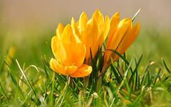 Gelbe Krokus Blüten (KaAuenwasser) Tags: krokusse krokus blüten blüte gelb farbe pflanze wiese rasen februar 2020 botanischergarten jahreszeit licht zierde zierpflanze zier nah makro blume
