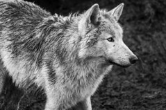 Rescued wolf (Julie McGovern) Tags: wildireland donegal burnfoot ireland catchlight cameraclub wolf mono rescued wildlife