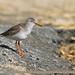 Common Redshank (Tringa totanus)
