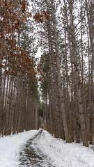 rice creek north regional trail (Lzzy Anderson) Tags: ricecreeknorthregionaltrail minnesota 2020 february winter snow woods trees pinetree trail