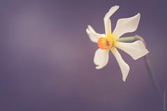 """Happiness"" (michael.cessna) Tags: narcissus firebird mrsfstuartfoote spring springtime springflowers flowers floral closeup beautiful flower singleflower youreagoodmancharliebrown charliebrown goodman victoriaerickson edgeofwonder vinceguaralditrio vinceguaraldi copyarea"
