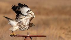 Leaning Into It (lennycarl08) Tags: raptor birdofprey lowerklamathnwr birds northerncalifornia redtailedhawk hawk