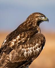 Hawk Portrait 18 (lennycarl08) Tags: raptor birdofprey lowerklamathnwr birds northerncalifornia redtailedhawk hawk