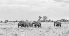 The trek (Thomas Retterath) Tags: adventure wildlife abenteuer 2019 safari nopeople natur nature kwando botswana africa afrika lebala bigfive africanelephant elefant elephantidae pflanzenfresser herbivore säugetier mammals animals tiere loxodontaafricana