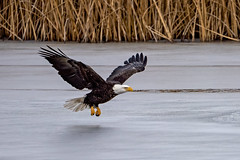Eagle Over Ice 2 (lennycarl08) Tags: raptor birdofprey lowerklamathnwr birds northerncalifornia baldeagle eagle
