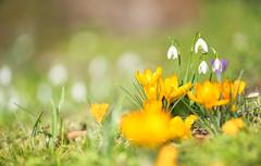 Gemischt (KaAuenwasser) Tags: krokusse krokus blüten blüte gelb farbe pflanze wiese rasen februar 2020 botanischergarten jahreszeit licht zierde zierpflanze zier nah makro blume schneeglöckchen weis