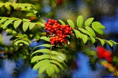 rowan (Сonstantine) Tags: rowan naturepic natureshot naturecolor nature natureza automn autumn russia photo pic