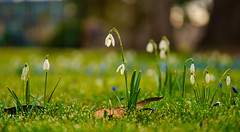 Schneeglöckchen (KaAuenwasser) Tags: schneeglöckchen wiese botanischergarten garten park rasen makro nah februar 2020