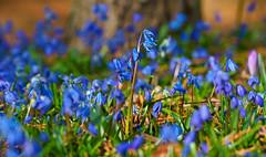 Alles in Blau (KaAuenwasser) Tags: blausterne blaustern blüten blumen blau makro nah februar farbe 2020 wiese botanischergarten garten park ort stelle platz jahreszeit winter