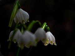 20200218_567c (novofotoo) Tags: botanischergarten frühlingsknotenblume leucojumvernum märzenbecher natur nature pflanzen plant springsnowflake botanicalgarden