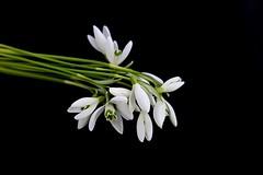 Snowdrops (majka44) Tags: macro flower white green black snowdrop light 2020 february bouquet nature lifestyle mood atmosphere nice macroworld stilllife elegance spring delicate soft