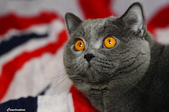 Antonio (Сonstantine) Tags: animals antonio catslife catsoftheworld catscatscats cute cats britishcats british meowmeow meow meowbox photo pic portrait