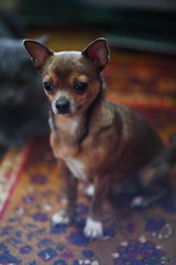 Nils Lily Flower (Сonstantine) Tags: nils animals dogs dogslife chihuahua cute photo pic portrait