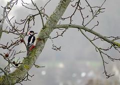 Dendrocopos major (M.L Photographie) Tags: bird oiseau birds oiseaux ornitho france normandie eure wildlife pic dendrocropos