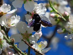A heavyweight has landed - will the fragile flower manage? (Ia Löfquist) Tags: crete kreta hike hiking vandra vandring walk walking flower blomma almond mandel bee bi