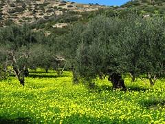 Olives harvested, pruning done - now the yellow flowers rule the grove! (Oxalis pes-caprae - Getoxalis) (Ia Löfquist) Tags: crete kreta hike hiking vandra vandring walk walking flower blomma olivetree olivträd
