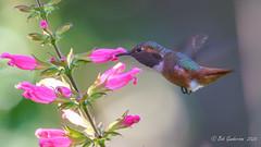 Allen's Hummingbird (Bob Gunderson) Tags: allenshummingbird birds botanicalgardens california goldengatepark hummingbirds northerncalifornia sanfrancisco selasphorussasin