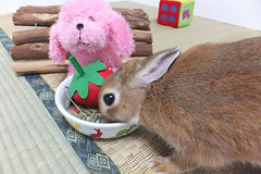 Ichigo san 1671 (Errai 21) Tags: いちごさん ichigo san 食事中 いちごといちご  ichigo rabbit bunny cute netherlanddwarf pet うさぎ ウサギ いちご ネザーランドドワーフ ペット 小動物 うさぎが好き うさぎ好きさんと繋がりたい うさぎのいる暮らし うさぎのいる生活 1671