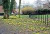 Tatton Park, Dwarf Daffodils.