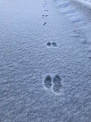 58/365/9 (f l a m i n g o) Tags: 365days project365 thursday 2020 20th february ground cold winter morning snow tracks rabbit