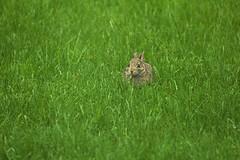 Bunny (jennymarie.ob) Tags: animal animalphotography animals nature naturephotography rabbit bunny eastercottontail cottontail cottontailrabbit cottotailbunny bunnyrabbit babybunny babyrabbit grass cute adorable