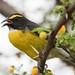 Sucrier à ventre jaune - Coereba flaveola - Bananaquit-1