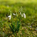 Bokeh/Bouquet of Snowdrops