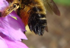 Photo of Megachile willughbiella female