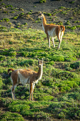 Torres del Paine (joshbousel) Tags: animal chile guanaco magallanes mammal southamerica torresdelpaine travel