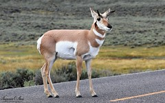 On the road again (Shannon Rose O'Shea) Tags: shannonroseoshea shannonosheawildlifephotography shannonoshea shannon pronghorn animal mammal female horns doe antilocapraamericana hooves hooved yellowstonenationalpark wyoming road grass scrub outdoors outdoor outside colorful colourful colors colours art photo photography photograph wild wildlifephotography wildlifephotographer wildlifephotograph naturephotographer naturephotograph naturephotography flickr smugmug wwwflickrcomphotosshannonroseoshea camera 5743 2019 femalephotographer girlphotographer womanphotographer shootlikeagirl shootwithacamera justagirlwithacamera canongirl throughherlens canon canoneos80d canon80d canon100400mm14556lisiiusm eos80d eos 80d canon80d100400mmusmii artiodactyl sagebrush wildlife nature closeup close