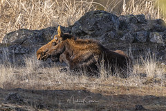 Light Headed (NikonDigifan) Tags: mammal animal moose bullmoose nature naturephotography naturesfinest wildlife wildlifephotography nikon nikond850 nikon20050056 mikegassphotography