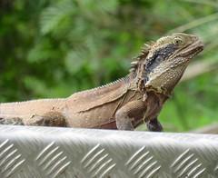 Itellagama lesueurii lesueurii (winghamb) Tags: wingham brush nature reserve national park nsw barry m ralley barymralley reptiles itellagamalesueuriilesueurii eastern water dragon
