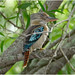 Blue Winged Kookaburra (Dacelo leachii leachii) (female - rufous tail feathers) - Fogg Dam Conservation Reserve, Middle Point, Northern Territory, Australia