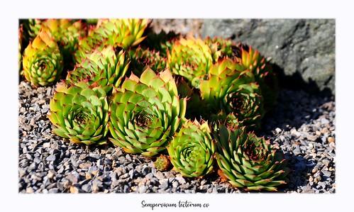 (Crassulaceae)