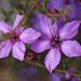 Tetratheca hispidissima